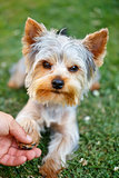 Cute small yorkshire terrier