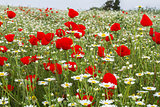 Wild red poppy and white daisy flowers .