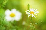 Spring daisy - Stock Image