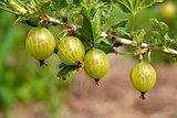 Gooseberries,