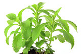 Sweetleaf Stevia rebaudiana