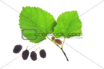 Black mulberry (Morus nigra)