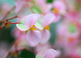 pink yellow begonia Flower