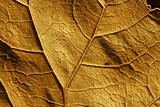 Autumn leaf cell structure and veins