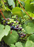 Wine grapes in vineyard