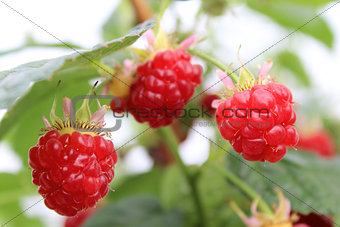 Growing raspberry in hydroponic plantation