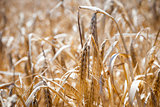 Wheat, closeup of wheat in a field