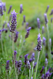 Lavandula dentata is a species of lavender,