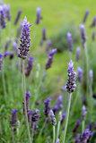 Lavandula dentata is a species of lavender,