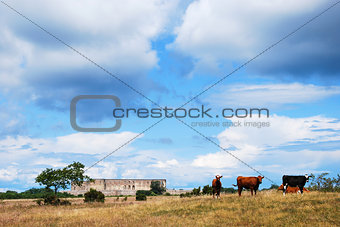 Grazing cattle in front of an old castle ruin