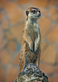 Alert Suricate or Meerkat  standing on wood to lookout