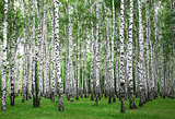 Summer birches trees