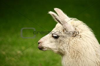 Alpaca llama photography