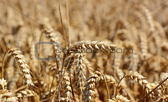 Single ear of ripening wheat against the crop