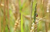 Ladybug climbing a grass stem