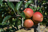 Three red apples ripen on the tree