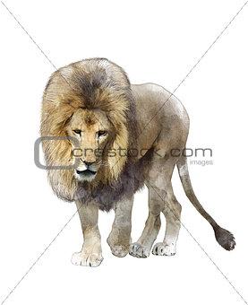Watercolor Image Of  Walking Lion