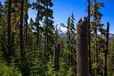 Mt. Hood through the trees