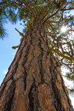 Ponderosa Pine with Sun