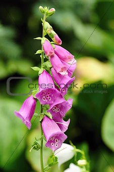 Foxglove with green background