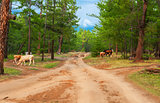 Cows  in pine forest