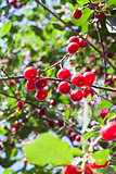 Fresh red cherries on a branch