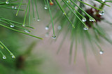 raindrops on pine tree
