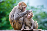 Macaques in China