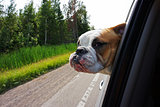 Bulldog looking out car window
