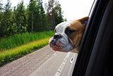 Bulldog looking out car window