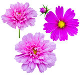 purple flowers cosmos