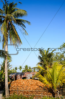 0002-Coconut tree & fruit in Mekong Delta