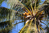 0003-Coconut tree in Mekong Delta