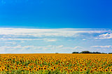 Sun flowers Field Against A Blue Sky