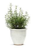 Rosemary in white clay pot
