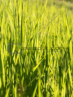 Candid shot of long blades of green grass in a mountain meadow