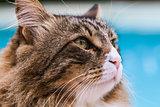 Maine Coon Cat Closeup