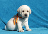 happy yellow labrador puppy portrait