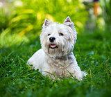 West Highland White Terrier