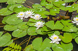 Water lily plant floating in pond