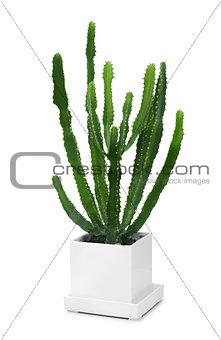 Cactus in modern white pot