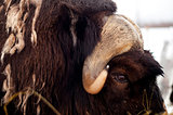 Musk Ox Portrait Wildlife Close up Horns and Eye