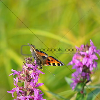 Aglais urticae butterfly on purple blossom