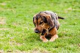 Mutt of puppy german shepherd dog
