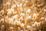 Dry golden and soft spare of grass