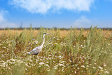 heron on the field