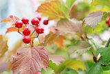 Red Viburnum berries in the tree after rain