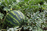 water mellon after rain