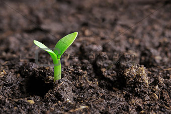 small green seedling in the ground