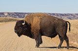 Buffalo walks on road.